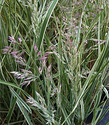 Calamagrostis Overdam-Feather Reed Grass