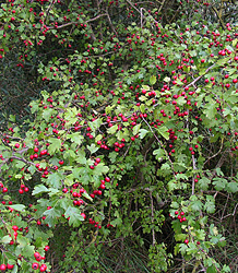 Crataegus Monogyna-Whitethorn
